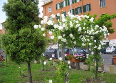 12 maggio 2013 roseto in fiore 003