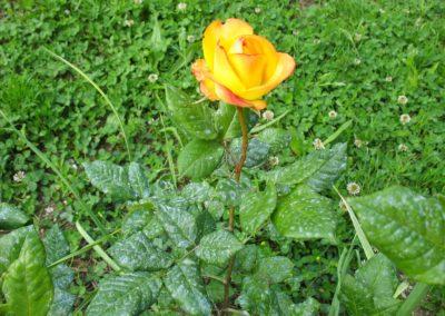 12 maggio 2013 roseto in fiore 013