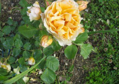 12 maggio 2013 roseto in fiore 015